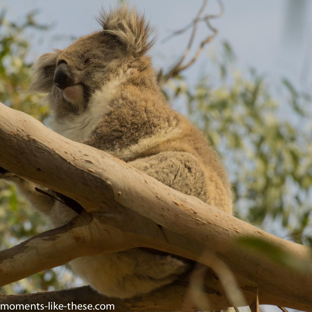 A koala at last!