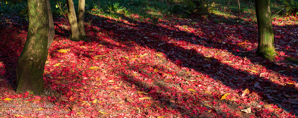 A carpet of red