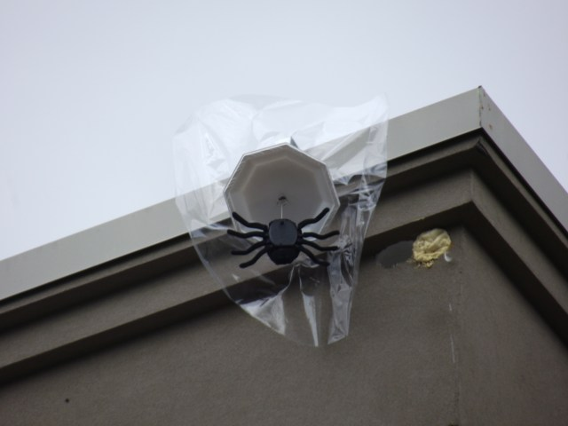 "Nine bird deterrent ""Attack Spiders"" hand from the 6806-220th Street SW building in Mountlake Terrace. The battery-operated, 18-inch wide plastic spiders are being used to scare away flickers that have been pecking away at the building's exterior walls."