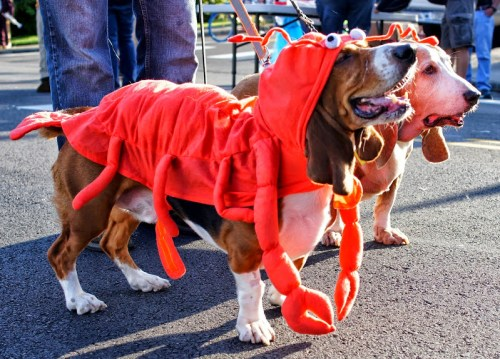 These dogs were ready to march in the parade. (Photo by David Carlos)