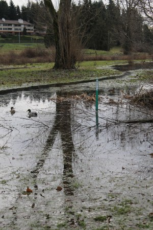 Due to recent heavy rains, ducks were the only ones able to appreciate parts of Ballinger Park Friday as Lake Ballinger and Halls Creek overflowed their banks in some portions of the park.