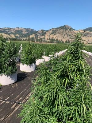 Outdoor plantation (CNW Group/Speakeasy Cannabis Club Ltd.)
