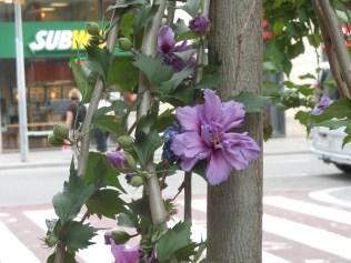 Street trees in bloom
