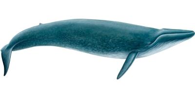Blue Whale | Marine Mammal Institute | Oregon State University