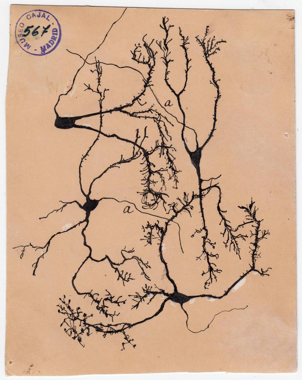 Golgi Stains were the reason Ramon y Cajal thought of the Neuron Doctrine.