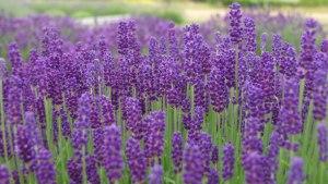 lavender-closeup-L