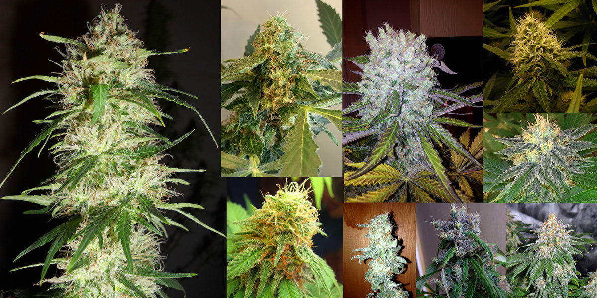 Types Plants Cannabis Different