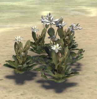 Flowers, Lizard Tail Cluster