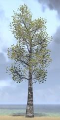 Tree, Towering Poplar