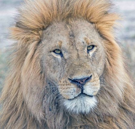 _E7A0812 Male lion handsome face web ready