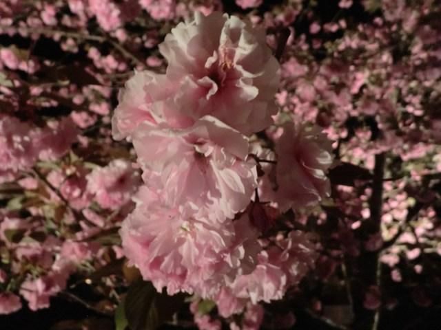 長瀞の桜1