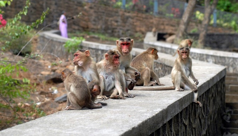 INDIJA: Majmuni kamenovali starca, preminuo u bolnici - Montenegro ...