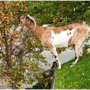 Green Roofs, Goats & Glogg