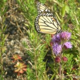 Green Roof Butterfly
