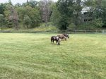 Three resident mini horses in the paddock