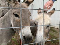 Resident donkeys