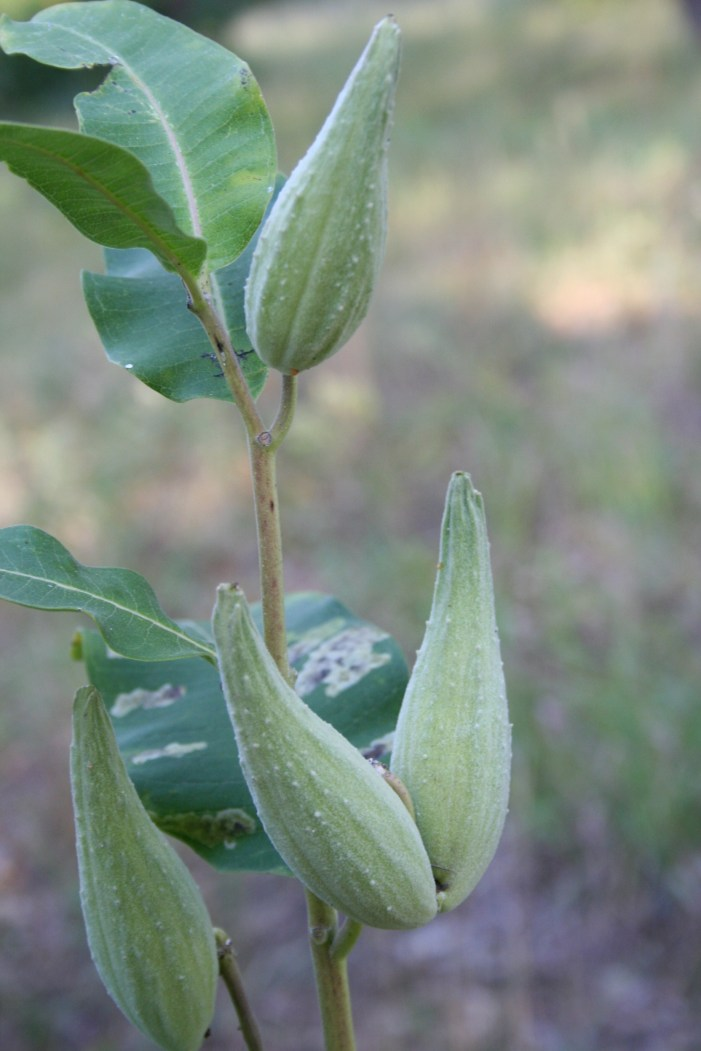 unripe pods on common milkweed