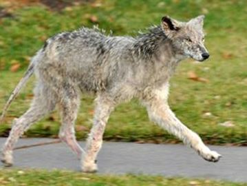 Another coyote encounter A Milton woman is calling on action from the Town of Milton after a recent encounter with a coyote.