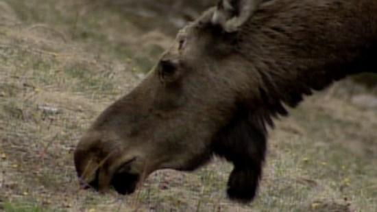 hi-moose-head-stock2009