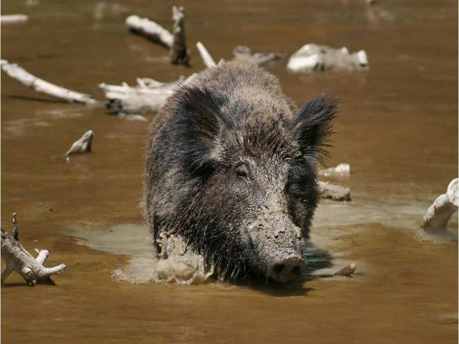 never-native-to-north-america-wild-boars-were-brought-in-fr