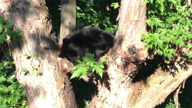 A New Sudbury resident found this bear sleeping in her backyard earlier this week. A new report released by Northern Policy Institute recommends the province reintroduce the spring bear hunt and allow U.S. hunters to participate on a trial basis. However, the report doesn't say whether a new hunt would reduce human-bear encounters. Supplied photo.