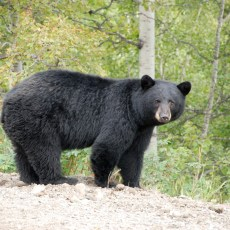 Province Consults on Annual Spring Bear Hunt