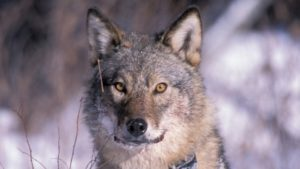 The Ontario Ministry of Natural Resources is considering banning the hunting and trapping of wolves in a wider area of the province between Killarney and Algonquin Provincial Parks. (Derek Meier)