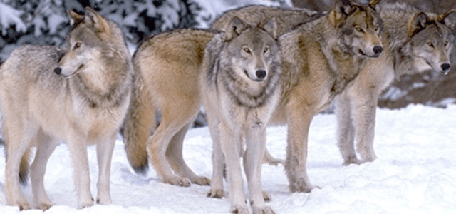 There is a lot of tension: why efforts to monitor Ontario wolves face opposition