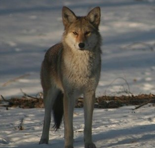 Peterborough County snowmobiler fined for chasing coyote