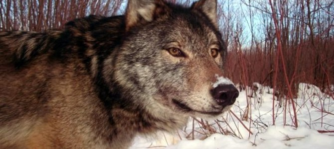 'Large-bodied' Canadian wolves to help keep U.S. moose population in check
