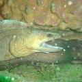 Moray Eel (Gymnothorax sp.)