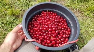 Sour-cherry-picking-at-forest-range-Adelaide (3)