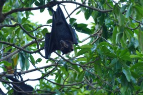 The Speckled Flying Fox fruit bat of Cairns