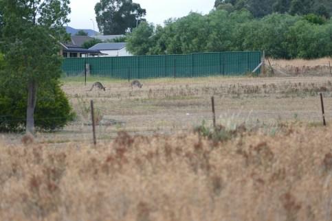 Mudgee Kangaroos