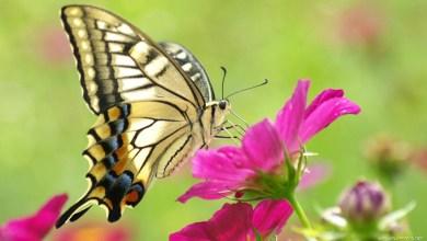 "Photo of الزراعة: الفراشات ""الملونة المنتشرة في شمال غزة لا يوجد منها أي ضرر"