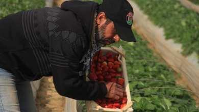 "Photo of موسم ""الفراولة"" يشهد زيادة بالمساحات المزروعة مقارنة بالعام الماضي"