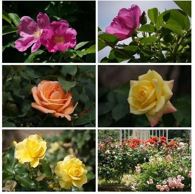 初夏の花特集~バラ~