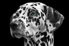 Dalmatians-dog-animal-head