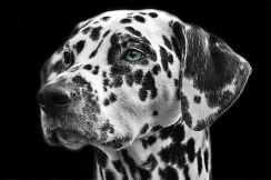 Dalmatians-dog-animal-head
