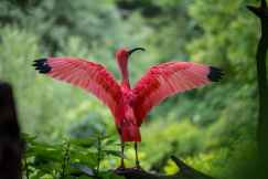 ibis-bird-red-animals