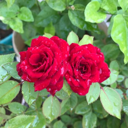 Beautiful roses_flower_nature