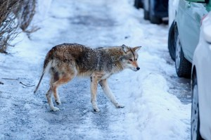 La gestion des coyotes acoûté près de450000$ à Montréal depuis2017