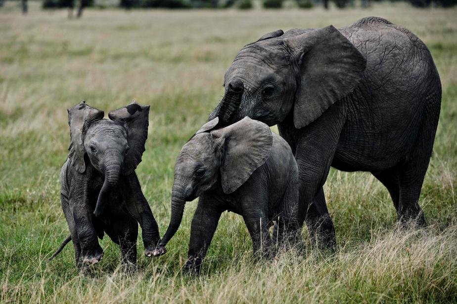 Les animaux herbivores sont plus à risque d'extinction que les prédateurs