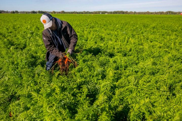 Mauvaise année pour les agriculteurs | Les carottes sont cuites