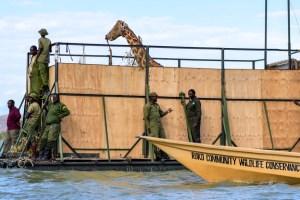 Kenya : la dernière des neuf girafes en voie de disparition sauvée d'une île