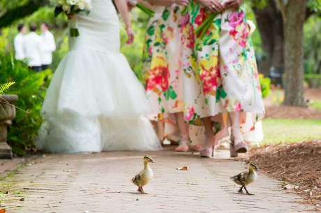 Baby ducklings lead a bride and her bridesmaids down the path