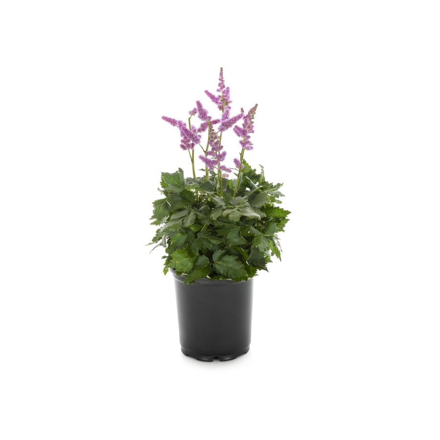 1 Gallon In Pot Astilbe Lb11788 In The Perennials Department At Lowes Com