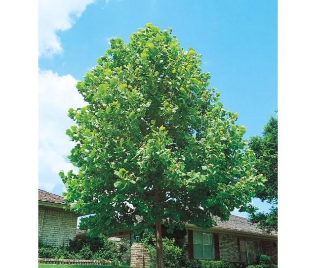 43 5 Gallon Sycamore Shade Tree L1049