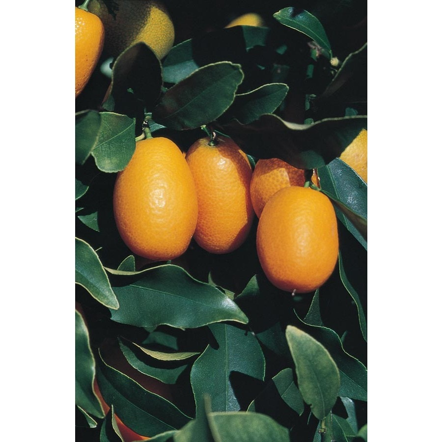 Shop 3 25 Gallon Dwarf Kumquat Tree  LW04089  at Lowes com 3 25 Gallon Dwarf Kumquat Tree  LW04089