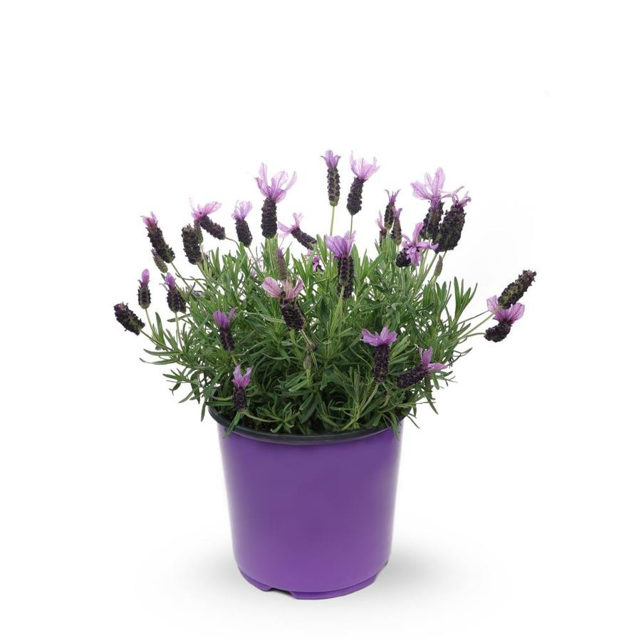 1 5 Gallon Potted English Lavender L6071 At Lowes Com